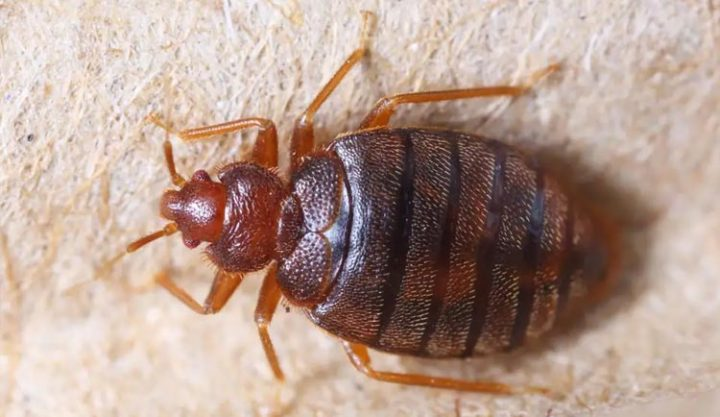 Bed Bugs Tips & Advice