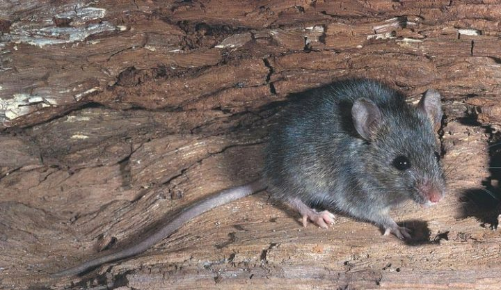 Rat Control Tips & Advice